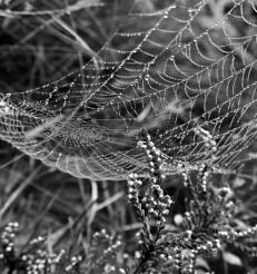 Web Over Heather